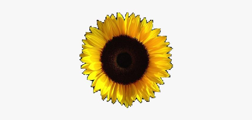 Aesthetic Sunflower Transparent Image Transparent Background Sunflower Aesthetic Png Png Download Transparent Png Image Pngitem