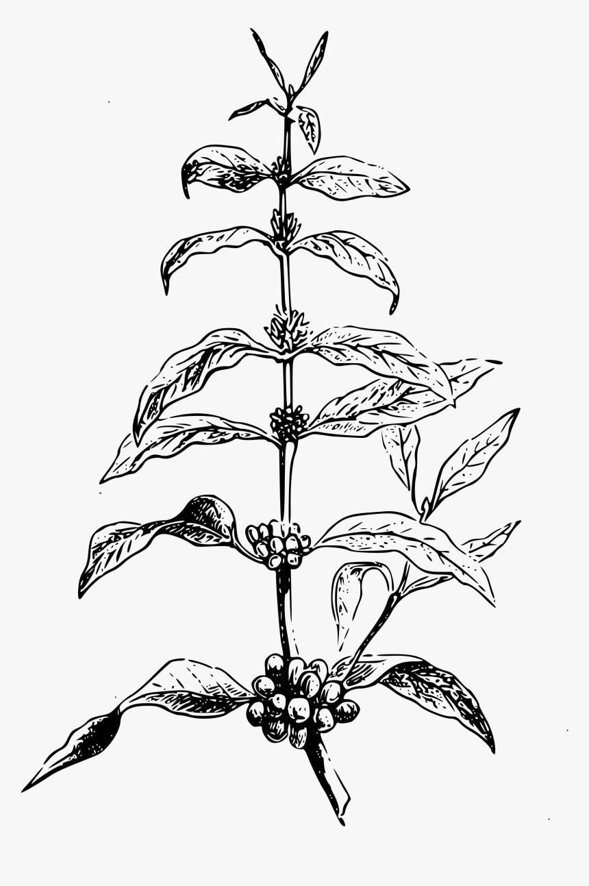 Free Clipart Coffea Plant Big Image Png Coffee Tree Vector Png Transparent Png Transparent Png Image Pngitem