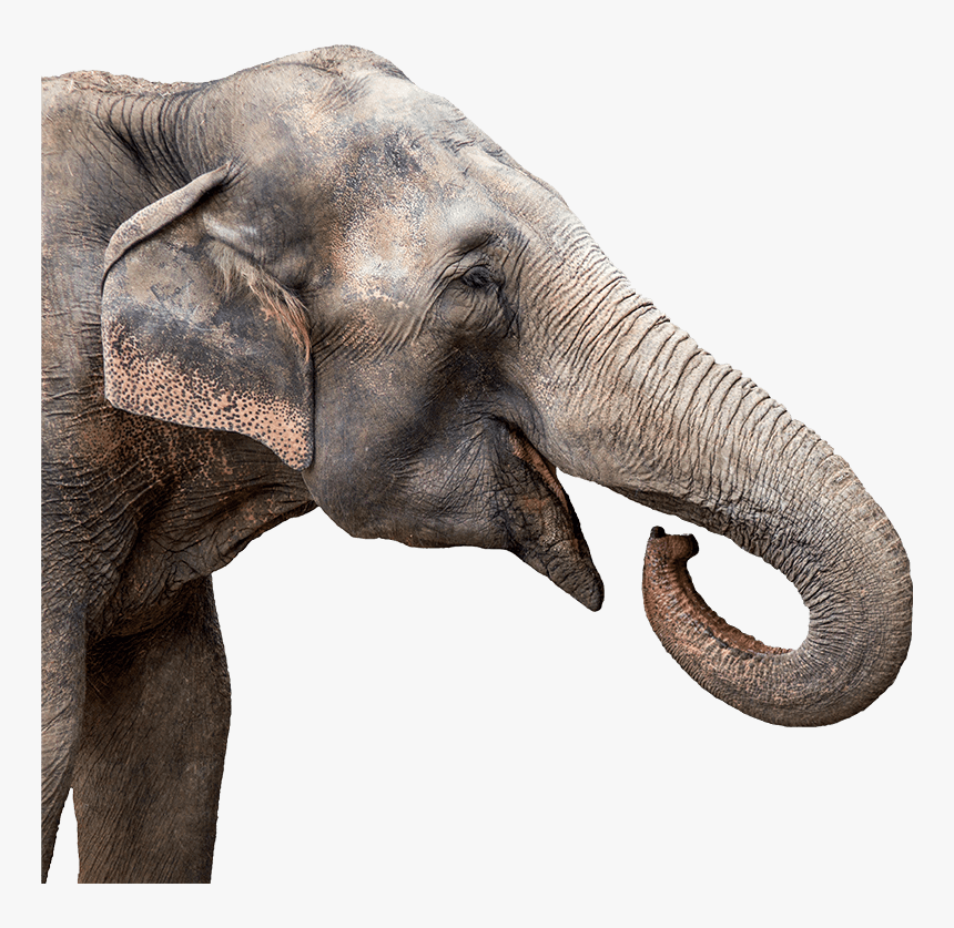 Transparent Background Elephant Png Hd – They seem to own awareness and show sympathy for dying or dead people of their kind.