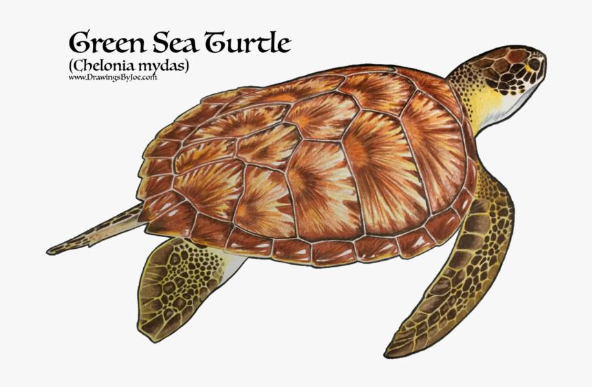 Realistic Green Sea Turtle Tattoo Hd Png Download Transparent Png Image Pngitem