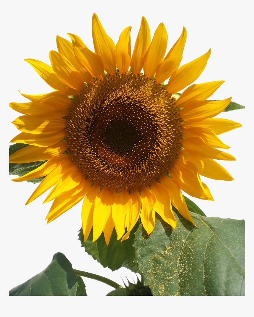 Sun Flower Isolated Yellow Flowers Free Picture   Bunga Matahari ...