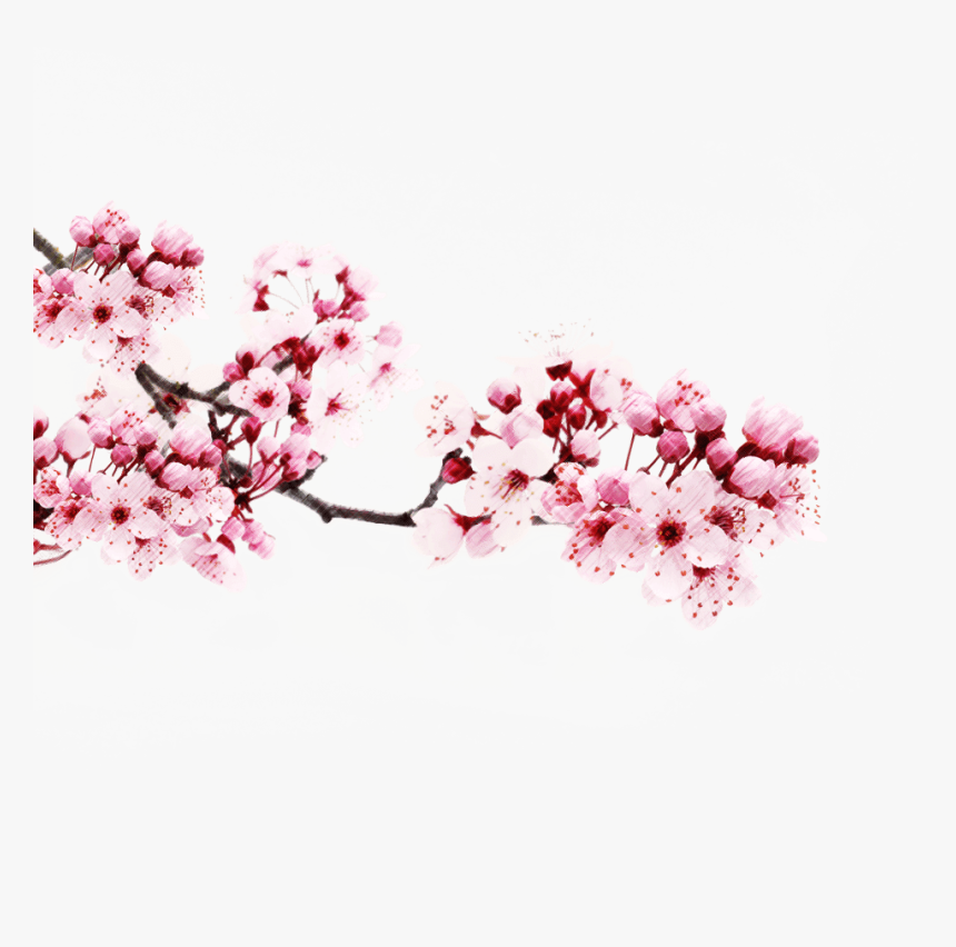 Sakura Flower Png