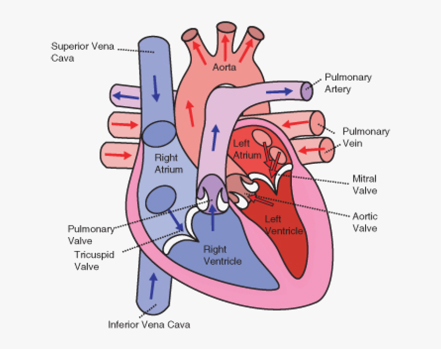 Transparent Direction Clipart - Diagram Of The Heart, HD ...