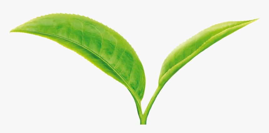 Tea Leaf Png Green Tea Leaves Png Transparent Png Transparent Png Image Pngitem