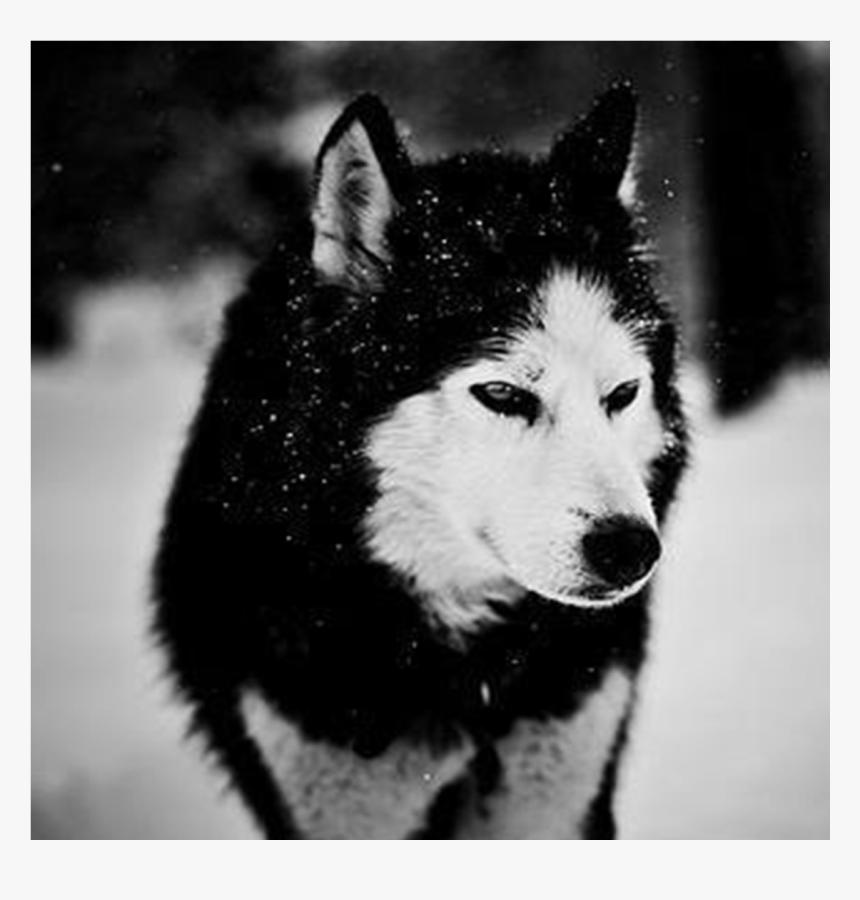 Siberian Husky Wallpaper Android