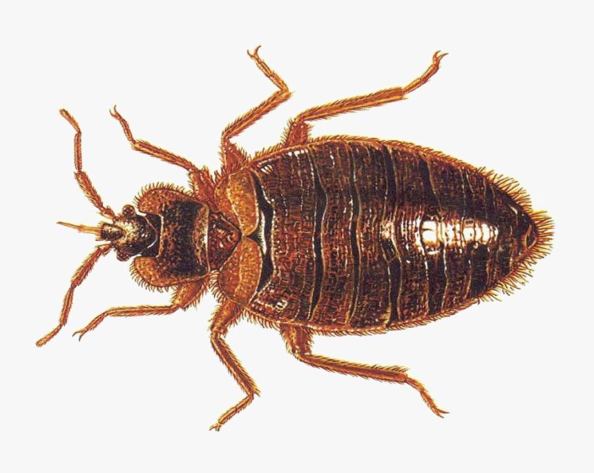 Bed Bug Vs Roach Nymph Hd Png Download Transparent Png Image Pngitem