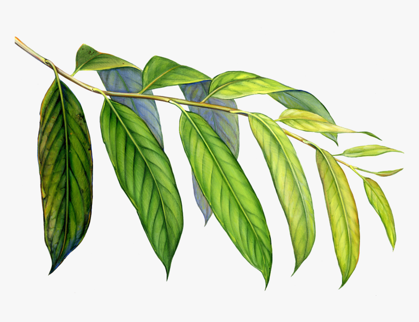 Amazon Drawing Tropical Evergreen Forest Huge Freebie Elm Hd Png Download Transparent Png Image Pngitem Browse 2,304 tropical evergreen forest stock photos and images available, or start a new search to explore more stock photos and images. elm hd png download transparent png