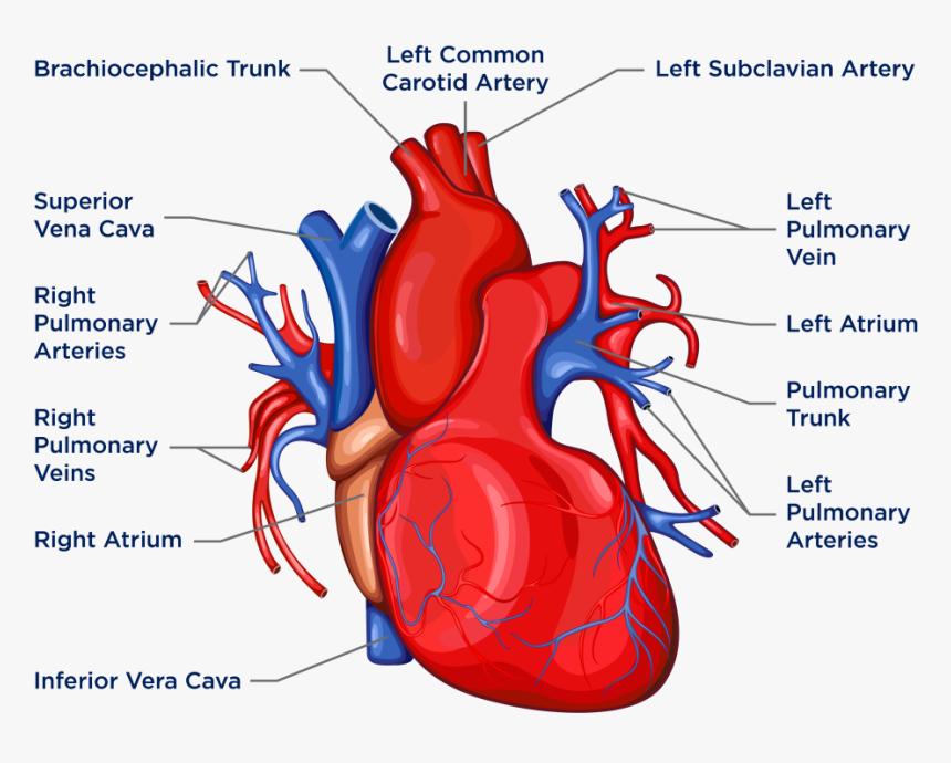 Biology Heart Diagram, HD Png Download , Transparent Png ...