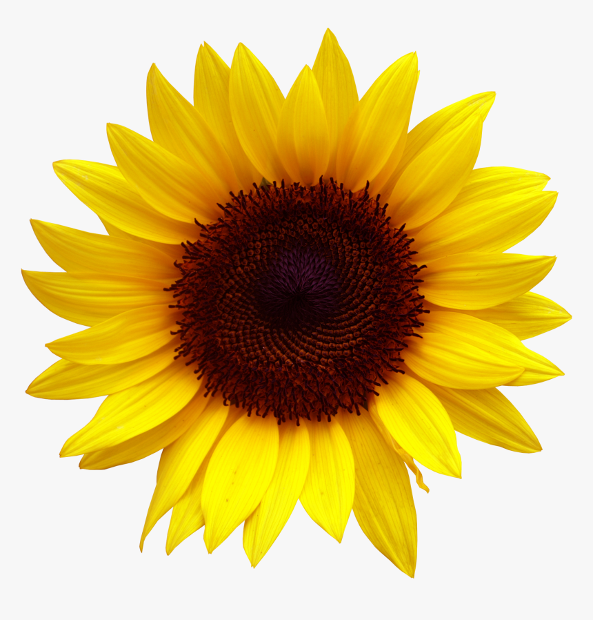 Sunflower Clipart Png, Transparent Png , Transparent Png ...