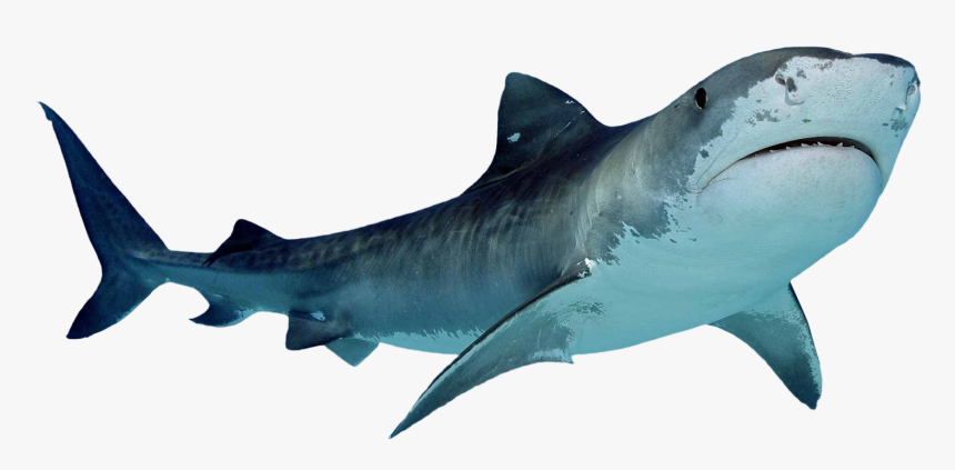 shark transparent