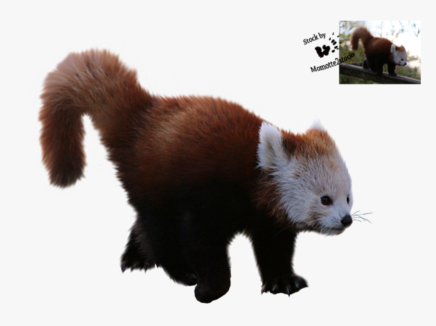 Red Panda Giant Panda Desktop Wallpaper Fur Png Red Panda Clear Background Transparent Png Transparent Png Image Pngitem