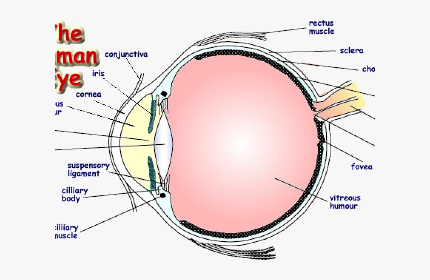 Drawn Eyeball Human Eye Labelled Diagram Of An Eye Hd Png