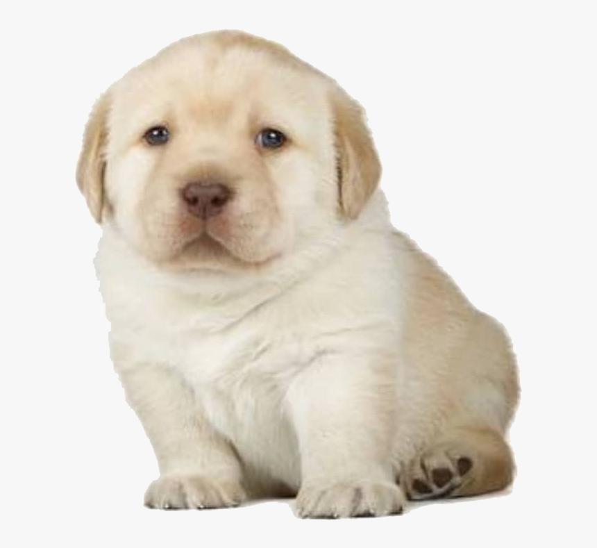 Golden Retriever Puppy Stages Hd Png Download Transparent Png Image Pngitem