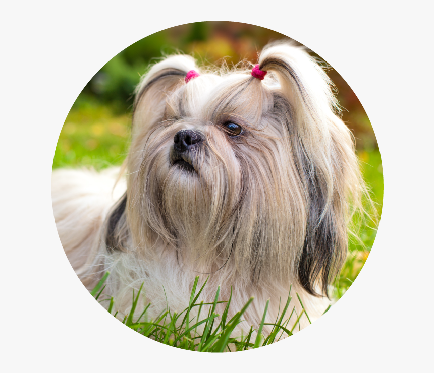 Shih Tzu Wallpaper Hd Hd Png Download Transparent Png Image Pngitem