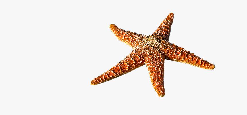 starfish spur sea prickly marine life sea animal bintang laut png transparent png transparent png image pngitem starfish spur sea prickly marine