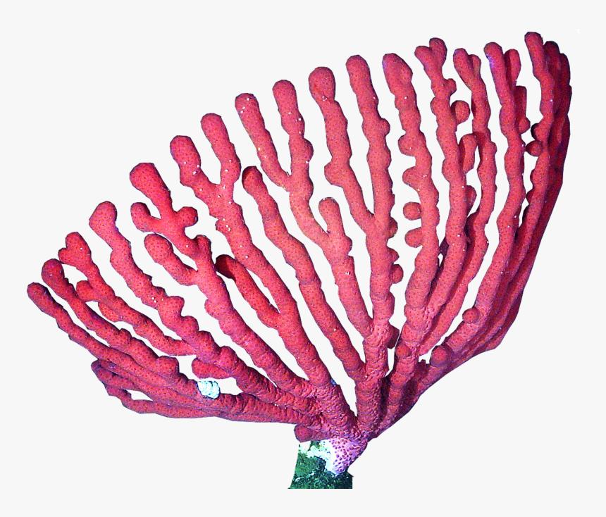 Presentation Name On Emaze Coral Png, Transparent Png