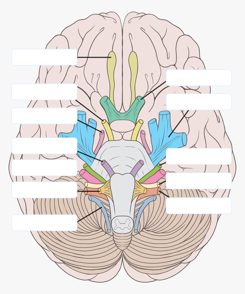 Transparent Nervous Clipart - 12 Cranial Nerves Unlabeled ...