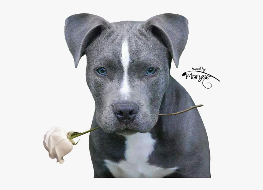 Pitbull Terrier Pit