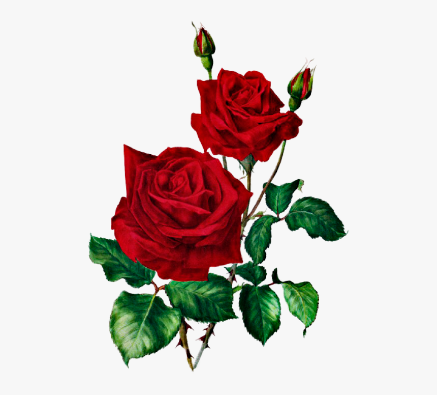 Transparent Red Roses Clipart Red Rose Botanical Print Hd Png