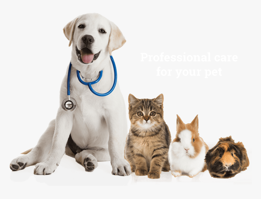 Labrador Sitting Pet Veterinarian Pets Puppy Retriever Dog Cat Guinea Pig Hd Png Download Transparent Png Image Pngitem