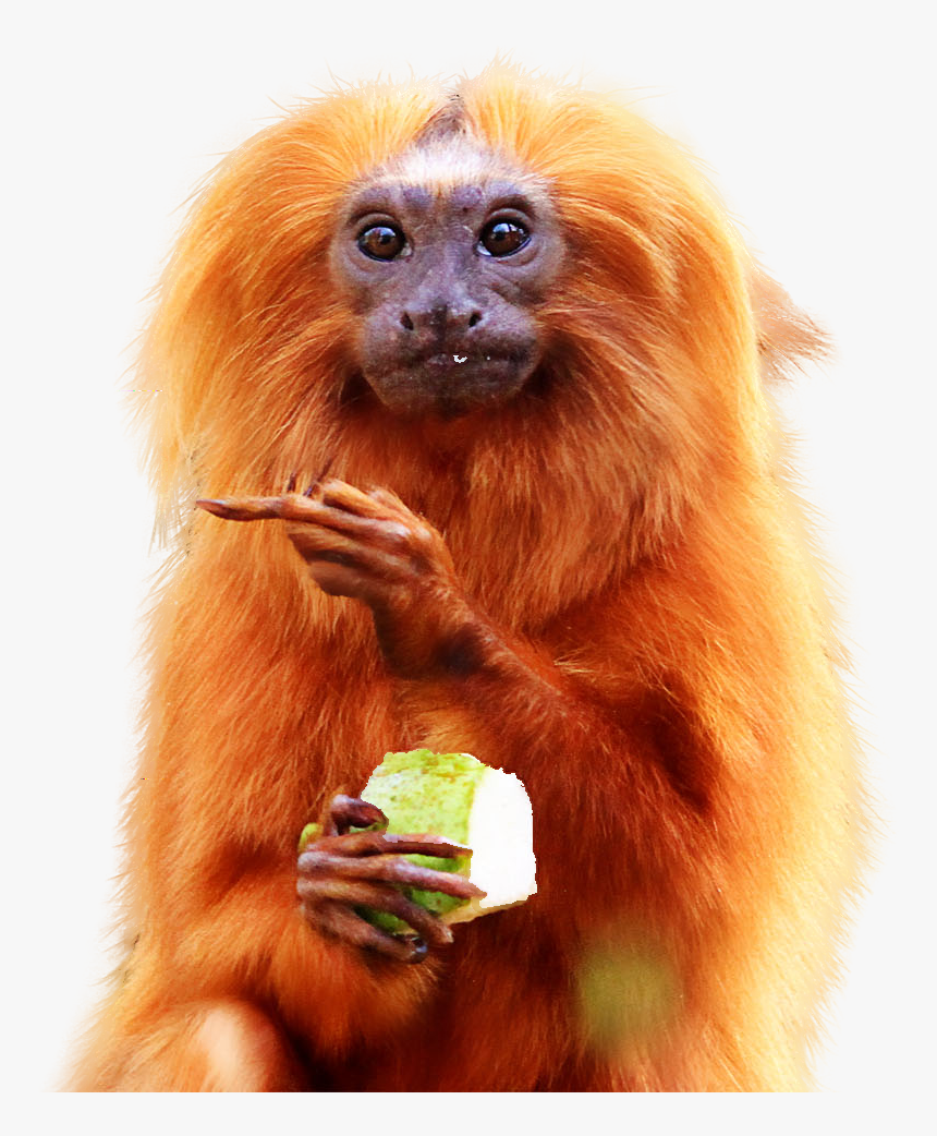 Golden Lion Tamarin Eating Hd Png Download Transparent Png Image Pngitem Shop lion face mask created by beautifully_wild. golden lion tamarin eating hd png