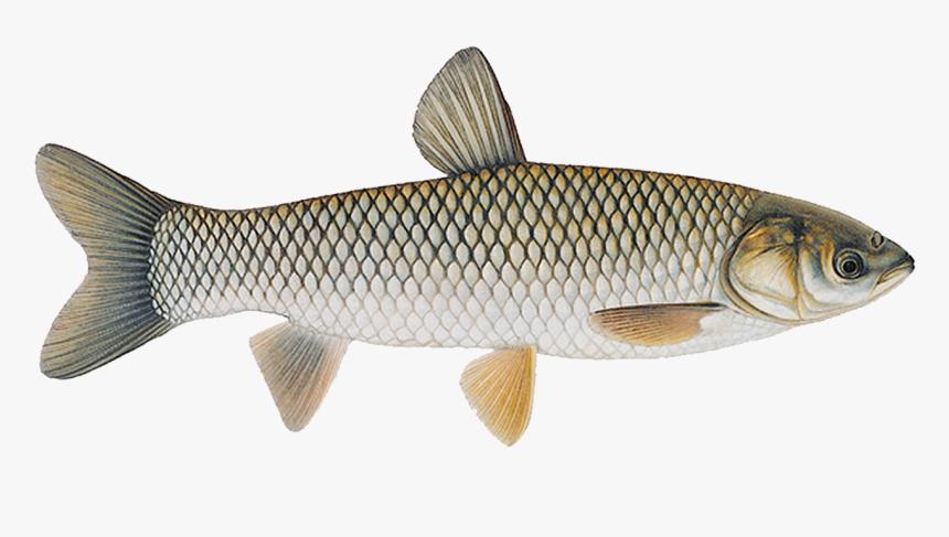 Image result for grass carp
