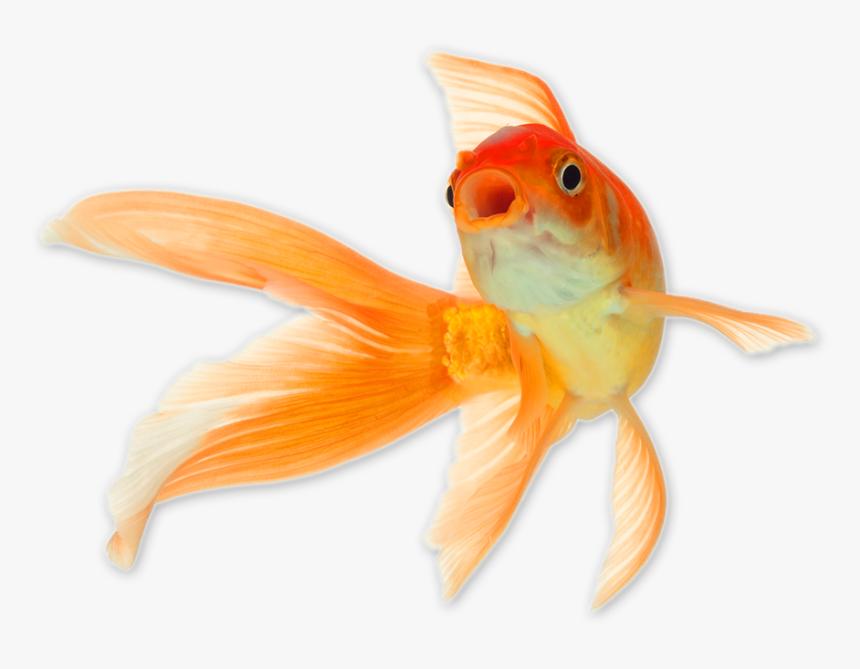 Goldfish Png Transparent Background Gold Fish Png Png Download Transparent Png Image Pngitem