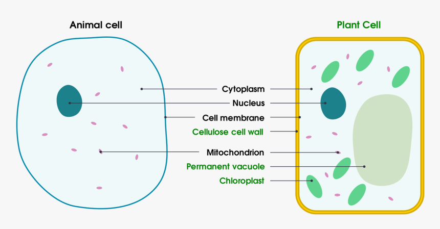 1 Basic Structure Of Animal And Plant Cells - Animal And ...