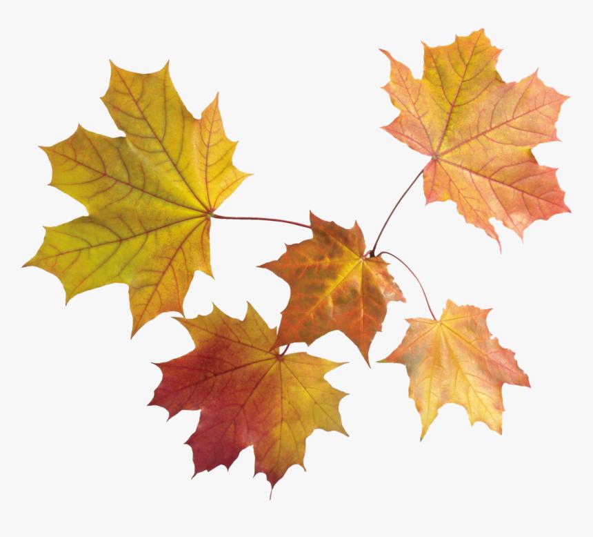 Drawn Maple Leaf Dead Leave Transparent Background Fall Leaves Png Png Download Transparent Png Image Pngitem