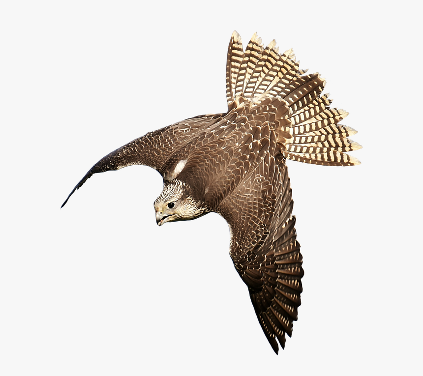 Download Free Falcon Birds Png Transparent Images Transparent Bird Of Prey Transparent Png Download Transparent Png Image Pngitem