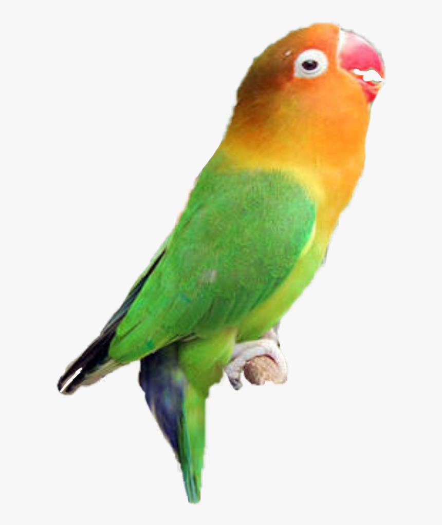Logo Lovebird Aqsha Makanan Burung Lovebird Yang Bagus Hd Png Download Transparent Png Image Pngitem