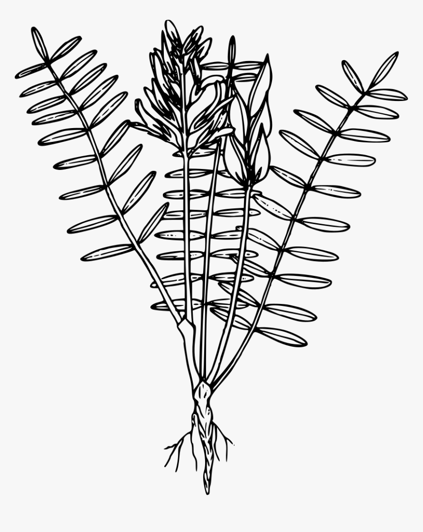 Blue Mountain Loco Weed Sea Plants Sketch Transparent Background Hd Png Download Transparent Png Image Pngitem