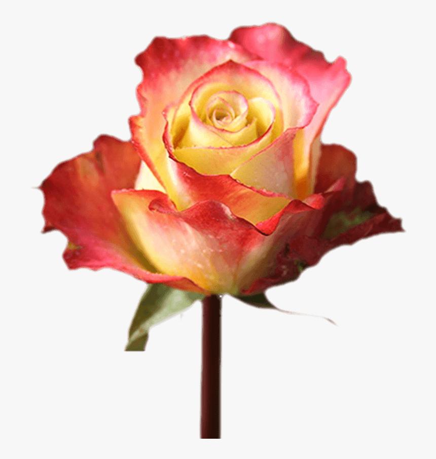 Valentine S Day Fundrasing With Flowers Single Roses Floribunda