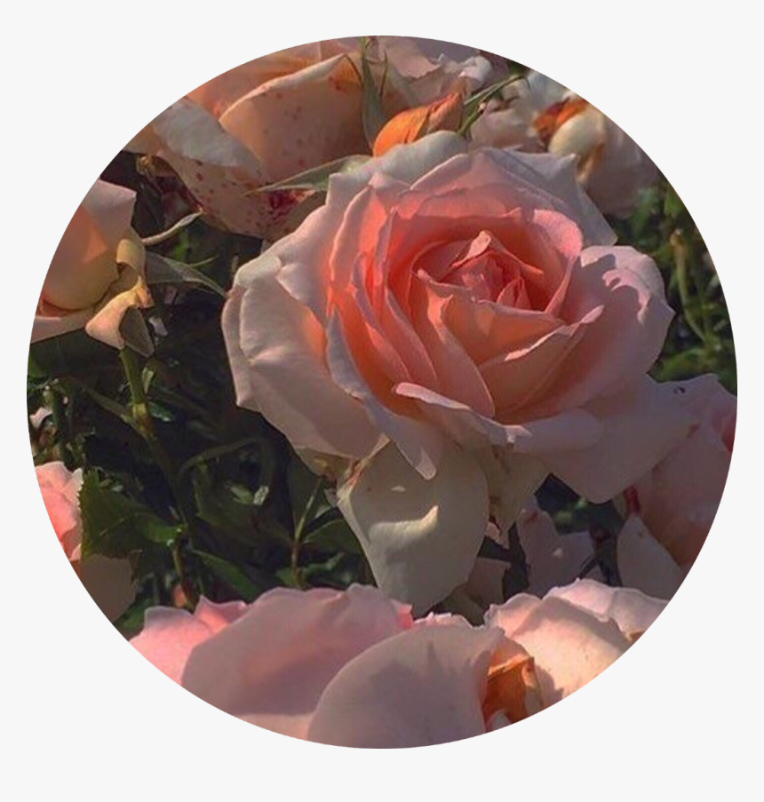 roses pink pinkaesthetic pfp pfpicon icon aesthetic hd png download transparent png image pngitem roses pink pinkaesthetic pfp