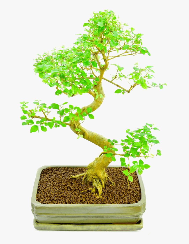 Bonsai Plants Online Sageretia Theezans Hd Png Download Transparent Png Image Pngitem