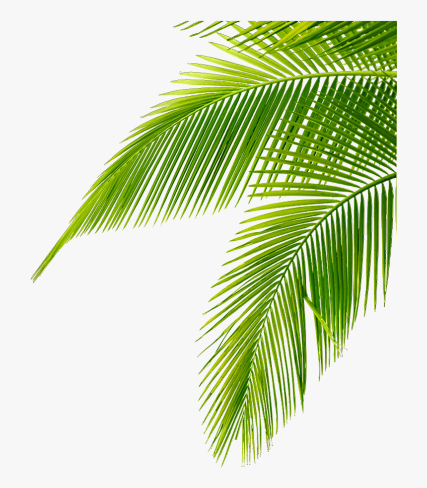 Tropical Leaves Green Freetoedit Leaf Palm Tree Png Transparent Png Transparent Png Image Pngitem Top view of tropical green leaves on red background. leaf palm tree png transparent png