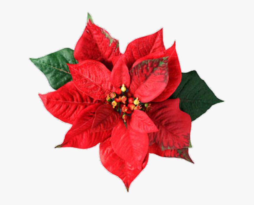 Flor Mes De Nacimiento Nochebuena Poinsettia Flower Png Transparent Png Transparent Png Image Pngitem