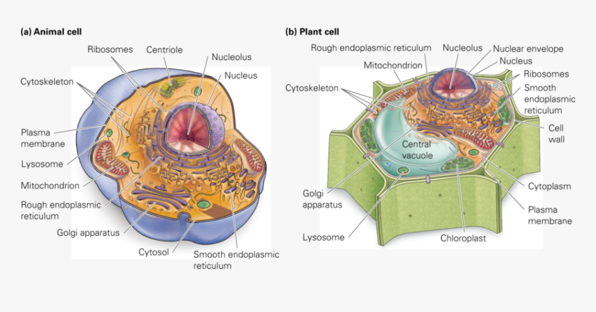 Chromatin Drawing Plant Cell Diagram - Cell Structure ...