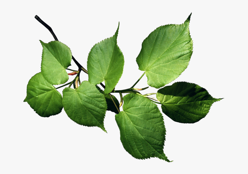 Серебряная береза Betula alleghaniensis Бумага березовая Лист ... | 605x860