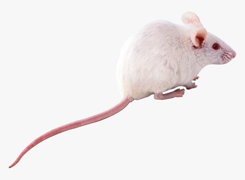 Best Free Rat White Rat Png Transparent Png Transparent Png Image Pngitem Warhammer shadow of the horned rat rat race rat clipart rat fink polynesian rat oriental rat flea fancy rat. white rat png transparent png