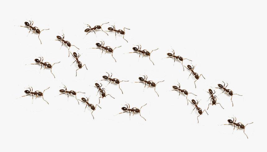 Ftestickers Ant Animals Ants Freetoedit Transparent Background Ants Png Png Download Transparent Png Image Pngitem
