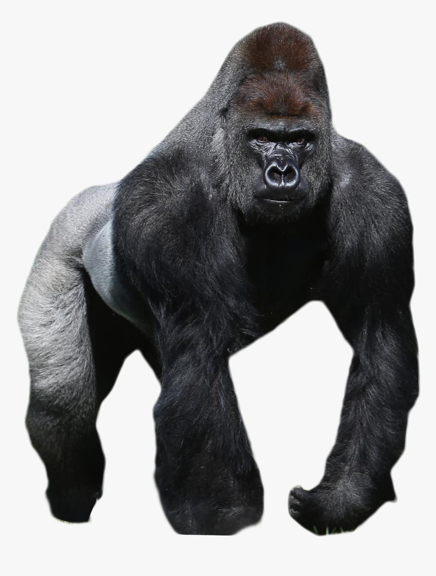 лишнего картинка гориллы на белом фоне тренировочных принципов нужно
