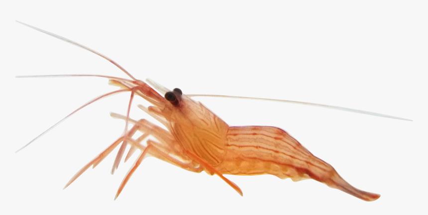 Transparent Shrimp Anemone Alive Shrimp Hd Png Download Transparent Png Image Pngitem