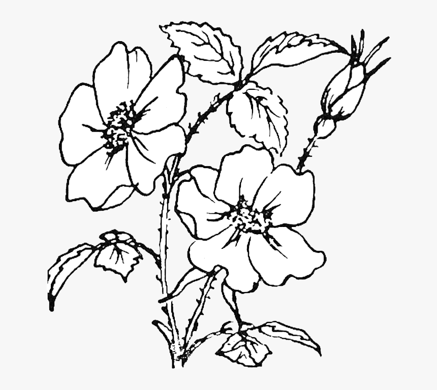 - Rose Flowers Coloring Pages, HD Png Download , Transparent Png Image -  PNGitem
