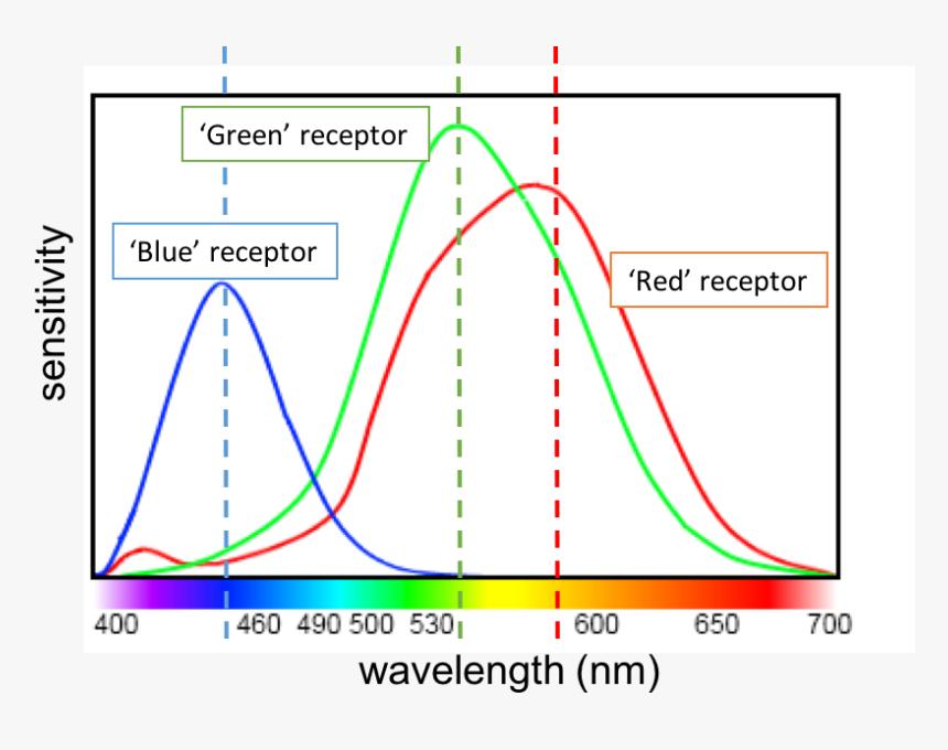 Human Eye Color Sensitivity, HD Png Download , Transparent Png Image -  PNGitem