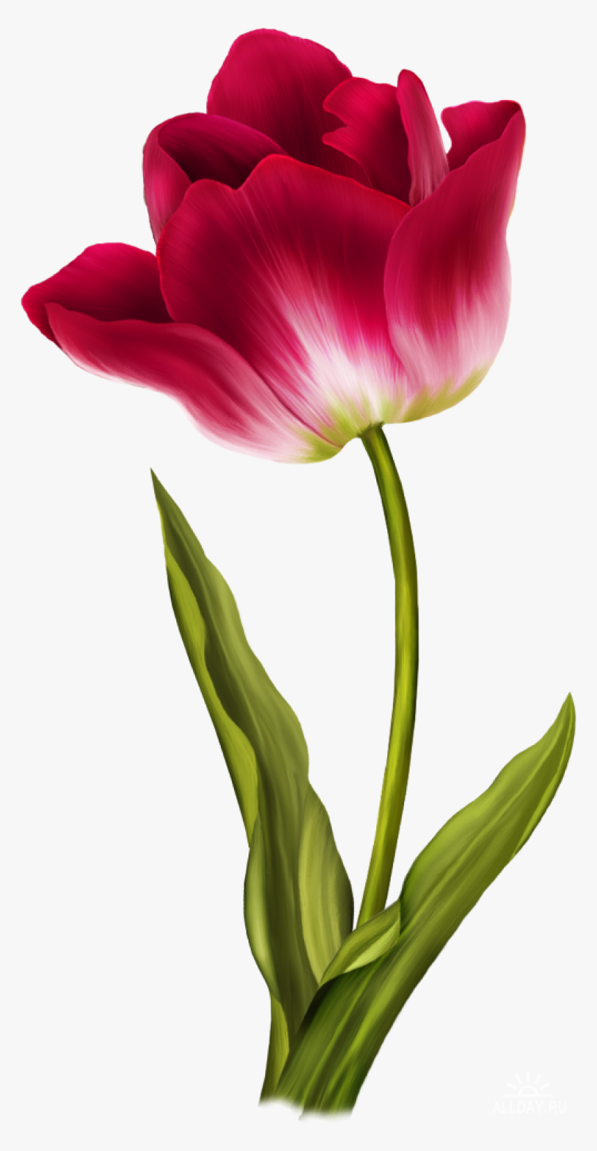 Tulip Png Image Flower Color Pencil Drawing Transparent Png Transparent Png Image Pngitem
