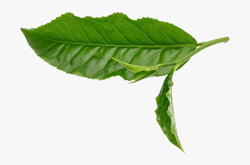 Green Tea Leaf White Green Tea Leaves Png Transparent Png Transparent Png Image Pngitem