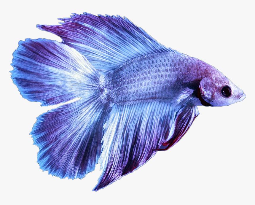 Tropical Betta Fish Hd Png Download Transparent Png Image Pngitem