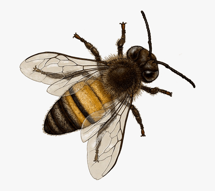 Honey Bee Transparent Background Bee Png Png Download Transparent Png Image Pngitem Honey bee honey bee euclidean, honey, food, honey jar png. honey bee transparent background bee