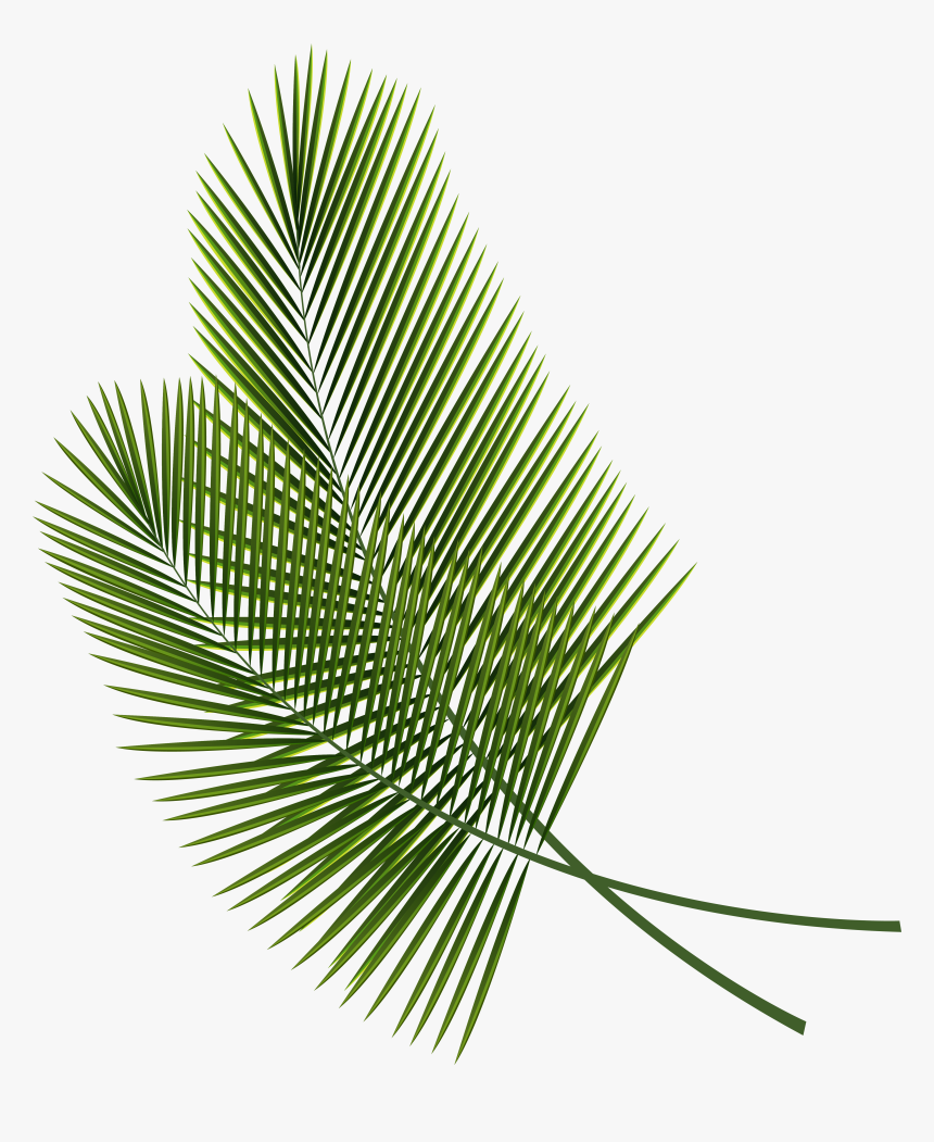 Collection Of Free Branches Drawing Palm Tree Download Palm Fronds Transparent Background Hd Png Download Transparent Png Image Pngitem